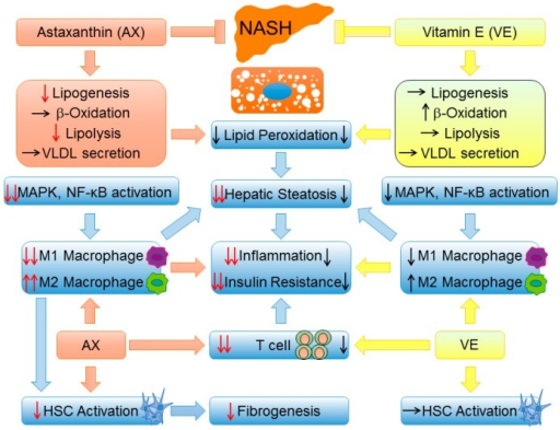 A brief comparison of NAFLD/NASH prevention and therapy between astaxanthin and vitamin E. First, astaxanthin is more effective than vitamin E in improving steatosis by suppressing lipid accumulation. Second, astaxanthin is superior to vitamin E with respect to suppressing the MAPK pathway and NF-κB activation and induces a strong shift of M2 macrophage polarization, which ultimately reverses hepatic steatosis, inflammation, and insulin resistance. Most importantly, as a result of M1/M2 transformation, astaxanthin can reduce hepatic stellate cell (HSC) activation and ameliorate hepatic fibrosis. Black arrow: : induction, : inhibition, : no change; Red arrow: : inhibition compared with vitamin E, : more significant induction/inhibition effect compared with vitamin E.