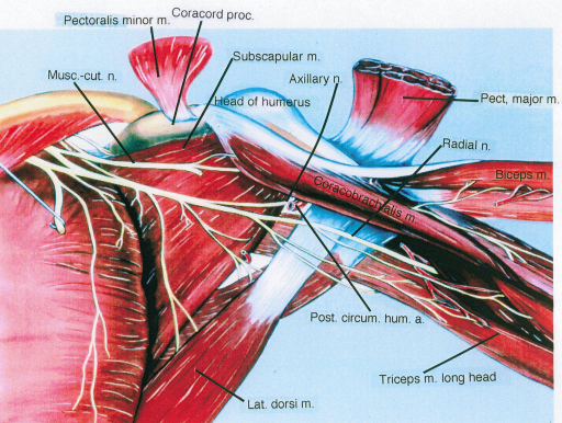 pectoralis minor muscle; coracoid process; musculocutaneous nerve; subscapular muscle; axillary nerve; humerus; pectoralis major muscle; radial nerve; biceps muscle; coracobrachialis muscle; posterior circumflex humeral artery; triceps muscle; latissimus dorsi muscle
