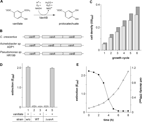 Vanillate degradation by Caulobacter. (A) Conversion of vanillate into protocatechuate, as catalyzed by the vanillate demethylase (VanAB) complex. (B) Arrangement of the vanR, vanA and vanB genes in C. crescentus, Acinetobacter sp. ADP1 and Pseudomonas sp. HR199. (C) Cell densities achieved with vanillate or glucose as the sole carbon source. Minimal media composed of 0.5 mM vanillate (light bars) or glucose (dark bars), respectively, in M2 salts (6) were inoculated with washed cells of wild-type strain CB15N. The cultures were grown until the carbon source was depleted, and their optical densities were determined (growth cycle 1). Subsequently, the cells were subjected to another five growth cycles, each of which started with replenishment of the carbon source (0.5 mM final concentration), followed by growth to stationary phase and determination of the respective cell densities. Note: Stepwise addition of the carbon source was necessary due to a negative effect of vanillate on growth at concentrations higher than 0.5 mM. (D) Involvement of CC2393 (VanA) in vanillate degradation. M2G minimal medium containing no (−) or 0.5 mM (+) vanillate, respectively, was inoculated with wild-type strain CB15N (WT) or its ▵vanA-derivative MT231 and incubated for 24 h. Subsequently, the cells were pelleted, and the supernatant was analyzed spectrophotometrically at 286 nm (the absorption maximum of vanillate) to determine the amount of vanillate left in the medium. Sterile medium (w/o) was used as a control. Data represent the mean of three independent experiments (±SD). (E) Induction kinetics of vanillate degradation. Cells of wild-type strain CB15N were grown to exponential phase in M2G minimal medium, washed, and resuspended in M2G medium containing 0.5 mM vanillate to an OD600 of 0.11. Samples were taken at one-hour intervals and analyzed for cell density (OD600, open triangle) and vanillate content (E286, filled circle).