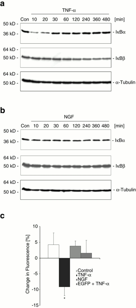 TNF-α, but not NGF induces degradation of IκBs α and β. Degradation of IκBα and IκBβ in PC12 cells treated with (a) TNF-α (10 ng/ml) or (b) NGF (1 ng/ml) for the indicated period of time. 50 μg protein extract were separated on 12% SDS-PAGE, blotted onto nitrocellulose membrane, and IκBα or β was detected using rabbit polyclonal antibodies. Membranes were stripped and probed with an α-tubulin mouse monoclonal antibody as control for equal sample loading. Experiments were performed in triplicate with similar results. (c) PC12 cells were transiently transfected with plasmids encoding an IκBα-EGFP fusion protein or EGFP. After 24–48 h recovery, cells were treated with vehicle, NGF (1 ng/ml), or TNF-α (10 ng/ml). Cells overexpressing EGFP were exposed to TNF-α (EGFP + TNF-α). Quantification of changes in EGFP fluorescence after a 10-min exposure to vehicle, NGF, or TNF-α. Data are mean ± SEM from n = 4 separate transfection experiments per treatment. Data are given as change in average pixel intensities compared with the first image.