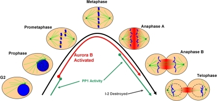 Model of Aurora B and PP1 activity relative to kinetochore assembly in the mitosis. G2 and the mitotic phases (prophase, prometaphase, metaphase, anaphases A and B, and telophase) are depicted. Microtubules are displayed in green, chromosomes in blue, kinetochores in yellow, and active Aurora B kinase in red. The times at which Aurora B (red lines) and PP1 (green lines) are activated are shown relative to the morphological changes of mitosis. In prophase, Aurora B is activated and begins to move from chromosome arms to centromeres. By prometaphase, activated Aurora B is fully localized to the inner centromere and outer kinetochore proteins are assembled. Complete chromosome alignment occurs in metaphase, at which point the spindle checkpoint signal is extinguished and sister chromatids separate and begin poleward anaphase movements. Aurora B dissociates from the inner centromere in anaphase and relocalizes to overlapping spindle midzone microtubules, where it remains active in a gradient of kinase activity that spreads from out from the spindle midzone (fading red). Kinetochores disassemble as they move outside of the zone of Aurora B activity in anaphase B. PP1 is initially activated in anaphase, and its small protein inhibitor I-2 is further degraded in anaphase B and telophase. Active PP1, in the absence of Aurora B, leads to outer kinetochores disassembly in telophase before the ensuing G1.