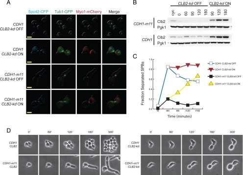 Restoration of mitotic cyclin Clb2 promotes spindle pole body separation and restores isotropic growth in CDH1-m11 cells. (A) MET3pr-Clb2-kd cells, with either CDH1 or CDH1-m11, were synchronized in α-factor, released, and Clb2-kd induced 60 min after release; images were obtained 180 min after α-factor release. Bars, 5 μm. (B) Clb2 immunoblot for cells in A. Clb2 antibody detects both endogenous Clb2 and Clb2-kd. Pgk1 serves as a loading control. (C) Quantification of cells with separated SPBs from A. (D) Single-cell time-lapse microscopy of strains of the indicated genotypes (all exact gene replacements), with minutes after release from α-factor indicated.