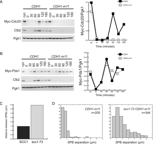 CDH1-m11 cells accumulate Pds1 but not Cdc20, and lengthen their spindles upon cohesin inactivation. (A) Left, immunoblots against strains synchronously released from α-factor with endogenously tagged Cdc20 and either CDH1 or CDH1-m11. Right, quantification of normalized Myc-Cdc20 levels from immunoblots. (B) Left, immunoblots against strains synchronously released from α-factor with endogenously tagged Pds1 and either CDH1 or CDH1-m11. Right, quantification of Myc-Pds1 levels standardized to Pgk1 loading control. (C) Average distance between separated SPBs in CDH1-m11 SCC1 and temperature-sensitive CDH1-m11 scc1-73 cells, 2 h after release from α-factor block. (D) Histogram of distance between SPBs from C.