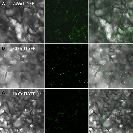 Localization of the GnTI-YFP fusion proteins in leaves of 10 day old transgenic T2 seedlings by whole mount microscopy. Left: light images leaf surface. Middle: fluorescent images taken under equal filter and exposure settings. Right: overlay light and fluorescent images. Seedlings expressing AtGnTI-YFP or ChGnTI-YFP, displayed a punctate fluorescence pattern consistent with a Golgi-localization. In seedlings expressing HuGnTI-YFP either no or only very weak punctuated fluorescence was detected. Similar results were obtained for at least three independent transformed lines expressing the different constructs
