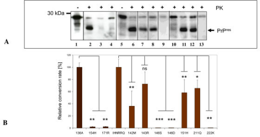 Cell-free conversion of ovine and caprine PrPC variants by scrapie prions. (A) Detection of cell-free converted PrPres. Non-proteinase K (PK) treated wildtype 136A and wildtype IHNRRQ samples are shown in lane 1 and lane 5 respectively. PrPres fragments of 136A (lane 2) and its variants 154H (lane 3) and 171R (lane 4) are depicted. PrPres fragments of caprine IHNRRQ (lane 6) and its variants 142M (lane 7), 143R (lane 8), 146S (lane 9), 146D (lane 10), 151H (lane 11), 211R (lane 12) and 222K (lane 13). The ovine and caprine PrP was detected using monoclonal antibody (mab) P4. Molecular mass marker is indicated on the left. Arrow indicates PrPres fragments. (B) Mean relative conversion efficiencies (± standard error of the mean, SEM) for each set of conversion reaction. Relative conversion rates of ovine PrP variants were calculated in relation to the ovine 136A reference allele and the goat derived variants in relation to the caprine IHNRRQ reference allele. Bars depict the SEM of at least 4 reactions. The differences were analyzed by unpaired student t-test. *: p < 0.05; **: p < 0.01; ***: p < 0.001. ns: not significant.