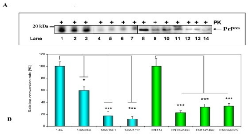 Dominant inhibition of the cell-free conversion by alleles associated with low susceptibility. (A) PrPres fragments generated from 136A (lane 1), a 1:1 mxiture of 136A with BSA (lanes 2-3), a 1:1 mixture of 136A with 171R (lanes 4-5), a 1:1 mixture of 136A with 154H (lanes 6-7). PrPres fragments derived from IHNRRQ (lane 8), a 1:1 mixture of IHNRRQ with 146S (lanes 9-10), a 1:1 mixture of IHNRRQ with 146D (lanes 11-12) and a 1:1 mixture of IHNRRQ with 222K (lanes 13-14). Detection was carried out using mab P4. Arrow indicates PrPres fragments. (B) Mean relative conversion efficiencies (± SEM) for each set of at least four conversion reactions. Relative conversion rates were calculated in relation to the ovine 136A reference allele and the caprine IHNRRQ reference allele. The differences were analyzed by unpaired student t-test. *: p < 0.05; **: p < 0.01; ***: p < 0.001. ns: not significant.