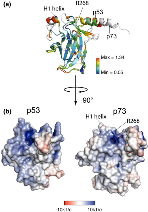 Structural comparison of p53 and p73. (a) Superposition of the p53 (PDB 2OCJ) and p73 structures in the absence of DNA colored by Cα RMSD. Residues where the RMSD is higher than the scale maximum are colored white. (b) Comparison of the electrostatic surface potentials of the two proteins as calculated using PyMOL and APBS.28 The H1 helix and R268 are labeled for orientation.