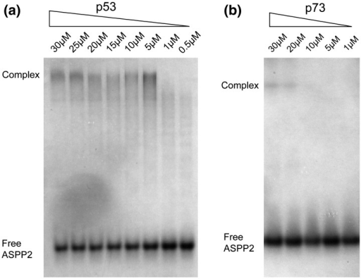Native-gel mobility shift assay for ASPP2 binding. (a) Binding reactions contained 20 μM ASPP2 and decreasing concentrations of p53 DBD as indicated (p53 amino acids 94–312 were purified as described previously31). Binding was performed at 37 °C for 5 min followed by 30 min of incubation on ice. Proteins were buffered in 50 mM Tris, pH 7.2, 50 mM NaCl, and 5 mM DTT. Complexes were separated from unbound ASPP2 on a 10% polyacrylamide gel in Tris–glycine buffer at pH 8.3 and visualized with InstantBlue Coomassie stain. The p53 DBD has a net positive charge at this pH and does not enter the gel. (b) Under similar conditions, binding of the p73 DBD was not observed. A screen of different buffer conditions identified binding in 50 mM sodium phosphate, pH 7.2, 50 mM NaCl, 5 mM DTT, 50 mM l-arginine, and 50 mM l-glutamate. Binding reactions contained 20 μM ASPP2 and p73 amino acids 112–315 at decreasing concentrations as indicated. Binding was performed at 4 °C overnight and native PAGE was conducted as above.