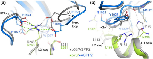 Specific packing interactions in the p73–ASPP2 complex. (a) Superposition of the p53 and p73 complexes reveals a significant shift in the position of the n-Src loop, leading to the loss of p73 R268 interaction with ASPP2 D1093 (this side chain was not clearly defined in the electron density). (b) Structural superposition again reveals a shift in the packing of the p73–ASPP2 complex. The L2 loop insertion in p73 induces a subtle change in the position of the H1 helix. Consequently, the loop of the fourth ankyrin repeat in ASPP2 is shifted by ~ 2 Å to avoid steric clashes. Significant sequence changes result in distinct packing interactions in the two complexes.