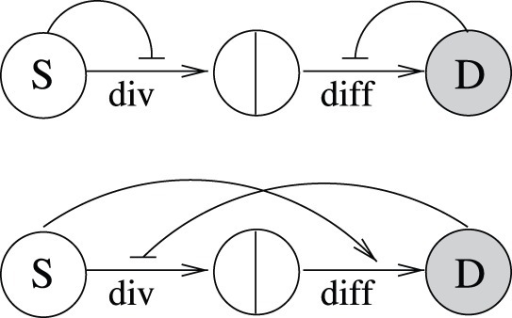 "Minimal regulatory networks for a two-compartment system.(a) Networks with two control loops. (b) Networks with three control loops. The circles marked with ""S"" and ""D"" denote stem and differentiated cells respectively. The two cell fate decisions are marked as ""div"" for divisions and ""diff"" for differentiation. Positive and negative bow-shaped arrows denote control loops."
