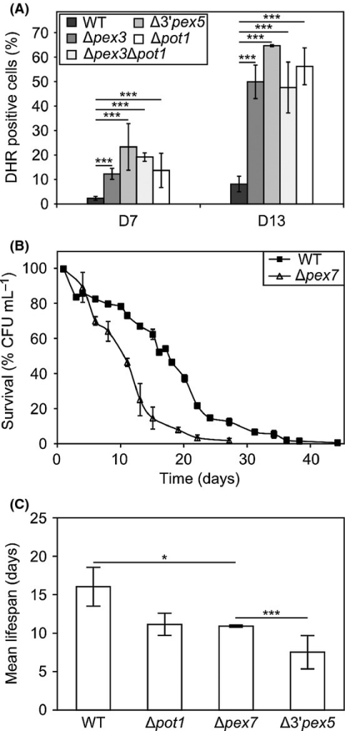Deletion of PEX7 shortens the lifespan. (A) FACS measurements of H2O2 accumulation using dihydrorhodamine 123 in WT, Δpex3, Δ3'pex5, Δpex3Δpot1, and Δpot1 at day 7 (dark gray) and day 13 (light gray). The graph indicates percentages of positive cells ± SD measured in 20 000 cells per sample from two independent experiments. ***P < 0.005. (B) Effect of PEX7 deletion on chronological lifespan. (C) Mean chronological lifespans of WT and mutant cells. Data represent mean ± SEM from at least two experiments. *P < 0.05; ***P < 0.005.