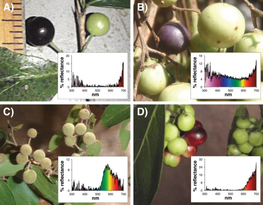 Photographs and associated spectrograms showing four fruits, and their associated reflectance spectra.A) Tricalysia perrieri, B) UK Liana 3, C) Grewia triflora, D) Antidesma petiolare. Photo credit: KV.