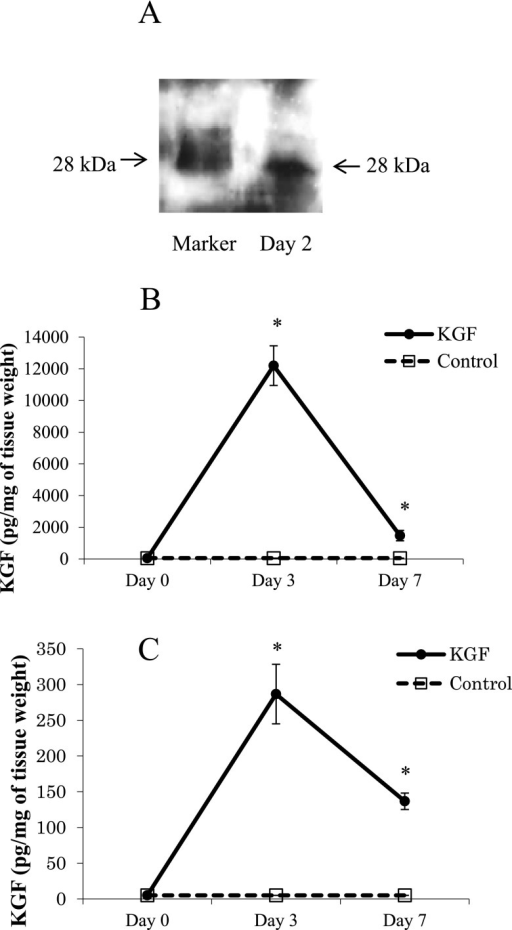 Expression of KGF protein in mouse quadriceps muscle and lungs. KGF-FLAG expression in mouse quadriceps muscle was analyzed by Western blotting using an anti-FLAG antibody on day 2 after gene transfection of mice (A). The concentration of KGF in mouse quadriceps muscle (B) and lungs (C) on day 3 and day 7 after gene transfection was measured using an ELISA. * represents p<0.05 compared to pFLAG control.