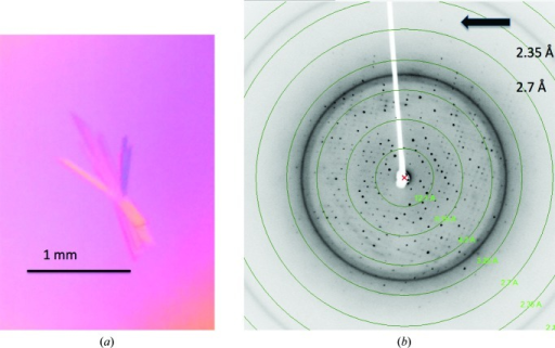 (a) Typical crystals of LJL143 are thin, flat rods of less than 0.01 mm on the smallest face. (b) A sample diffraction image of LJL143 crystals reveals visible spots to 2.6 Å resolution as indicated by the arrow.