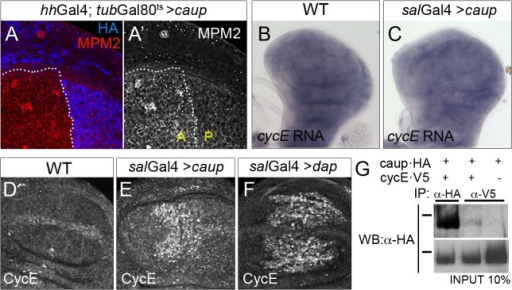 Functional and physical interaction of Caup with the CycE/Cdk2 complex.Activity of the CycE/Cdk2 complex, monitored by MPM-2 staining (A, A'); cycE transcription (detected by in situ hybridization, B, C) and CycE accumulation (detected by immunostaining, D-F) in wing imaginal discs of the indicated genotypes. (G) Caup co-immunoprecipitates with CycE in S2 cells. Western blot of protein extracts from S2 cells expressing the indicated tagged proteins, immunoprecipitated with anti-HA or anti-V5 antibodies and probed with anti-HA. Black bars indicate position of the 100 KDa protein marker.