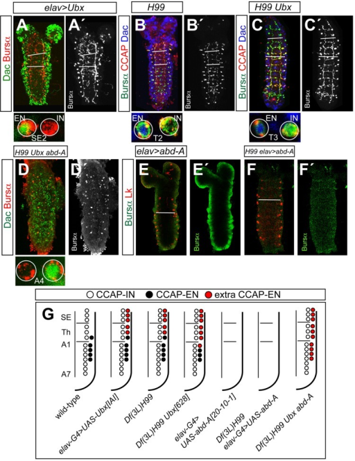 Effects of misexpressing Ubx or abd-A on the pattern of CCAP neurons. (A,A′) Expression of Dac (green) and Bursα (red) in elav-Gal4 UAS-UAS-UbxIAI. (B-C′) Expression of Bursα (green), CCAP (red) and Dac (blue) in Df(3L)H99 (B,B′) and Df(3L)H99 Ubx6.28 (C,C′). (D,D′) Expression of Dac (green) and Bursα (red) in Df(3L)H99 Ubx6.28 abd-AM1. Closer views of segments are shown at the bottom of each figure. (E-F′) Bursα (green) and Lk (red) expression in elav-Gal4 UAS-abd-A (E,E′) and Df(3L)H99 elav-Gal4 UAS-abd-A (F,F′). Bursα expression is shown separately on the right of each figure. All samples are first instar larva. (G) Summary of phenotypes. White bars indicate boundaries between subesophagic, thoracic and abdominal segments (A-C′) or between thoracic and abdominal segments (E,F).