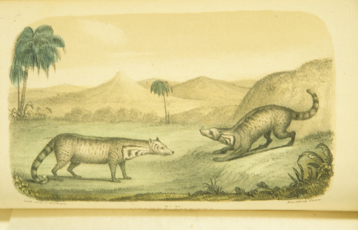 <p>Portrait of two civet cats in profile in a tropical landscape.</p>