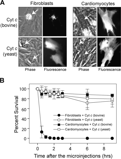 Cytosolic microinjection of cytochrome c induces death in fibroblasts but not cardiomyocytes. Neonatal rat cardiomyocytes and dermal fibroblasts were microinjected with 25 μg/μl of bovine or yeast cytochrome c, and cell survival (using morphological criteria) was assessed at multiple times after the injections. (A) Phase-contrast and fluorescence photographs of the cells 3 h after the injections of cytochrome c. The injected cells (arrows) were identified by the presence of rhodamine dextran coinjected with the cytochrome c. (B) Quantitation of cell survival. Data shown are the mean ± SEM of three independent experiments.