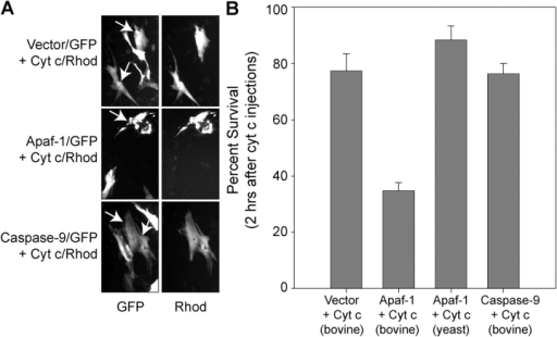 Restoring Apaf-1 levels eliminates the strict control of XIAP and permits cytochrome c to induce apoptosis in cardiomyocytes. Rat cardiomyocytes were transfected with plasmids expressing GFP alone (Vector/GFP), Apaf-1 and GFP (Apaf-1/GFP), or procaspase-9 and GFP (caspase-9/GFP). After 24 h, the transfected cells (identifiable by GFP expression) were microinjected with 25 μg/μl of bovine or yeast cytochrome c and rhodamine dextran (Cyt c/Rhod). (A) Fluorescence photographs (for the GFP- or Rhodamine-selective channels) of representative cells taken 2 h after the cytochrome c injections. Arrows point to the GFP-positive cells that were injected with cytochrome c and rhodamine. (B) Quantitation of cell survival (2 h after the injections) for the various conditions. Data shown are the mean ± SEM of three independent experiments.