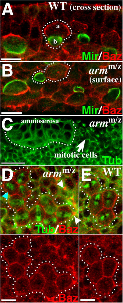 Neuronal polarity is retained in armm/z mutants. (A) WT cross section. Neuroblasts divide along the apical–basal axis. Mir (green) and Baz (red) are at opposite poles (one neuroblast outlined). (B) armm/z, surface. Mir (green) and Baz (red) at opposite poles of neuroblasts with no fixed division orientation. (C and D) armm/z. Tubulin (green) shows spindle orientation. (C) Group of dividing dorsal epithelial cells (arrow) next to amnioserosa (outlined). (D) region indicated by arrow in C. Dividing epithelial cells show uniform cortical Baz (red, outlined). Note adjacent epithelial fold (arrowheads). Note one cell dividing perpendicularly to the others (blue arrowhead). (E) WT epithelial cell division (outlined), surface section. Tubulin (green), Baz (red). In this plane Baz is uniform around the cell. Bars: (gray) 25 μm; (white) 5 μm.