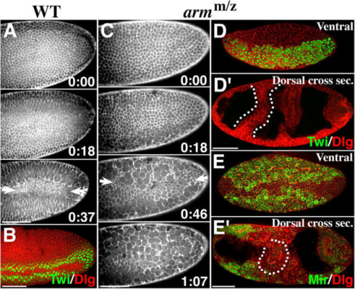 "Morphogenesis and cell differentiation in gastrulating armm/z mutants. (A) WT moesin-GFP embryo (ventral side, posterior end). Time (h:min) begins at first gastrulation movement. Note ventral furrow (arrows). (B) WT. Twi (green) shows mesodermal cells in ventral furrow. Dlg (red) outlines cells. (C) armm/z mutant expressing moesin-GFP (ventral view, posterior end). Note disorganized ""furrow"" along anterior–posterior axis (0:46, arrows) and cell rounding/dissociation (1:07). (D) armm/z. Twi (green) shows ventral mesoderm. (D′) Dorsal section of embryo in D. Dorsal cells are Twi-negative. Dlg (red) shows PMGI and transverse furrows (one outlined). (E) armm/z, ventral view. Mir (green) shows neurectoderm in two bands along anterior–posterior axis. (E′) Dorsal section of embryo in E. Mir-positive dorsal cells are restricted anteriorly and are largely absent from epithelial folds (outlined). Dlg, red. Bars, 50 μm."