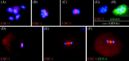 CSC-1 localizes in a similar manner as ABI complex members. CSC-1 localization in wild-type embryos was analyzed by immunofluorescence. Staining is observed in the central region of meiotic bivalents during diakinesis (A) and in prometaphase (B) of meiosis I. At anaphase I, CSC-1 localizes to the central region of the meiotic spindle (C). During mitotic metaphase, CSC-1 localizes to the chromosomes (D), and in anaphase, it localizes to the central spindle (E). The CSC-1 signal on the central spindle is wider than that of the centralspindlin component ZEN-4 (F). The above-mentioned staining patterns are absent in csc-1(RNAi) embryos (G); anti-tubulin staining demonstrates antibody accessibility (H).