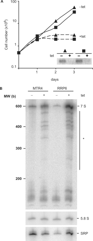 Depletion of TbMTR4 by inducible RNAi affects cell growth. (A) Trypanosomes expressing a TbMTR4-specfic dsRNA were grown in the absence (solid line) and presence (dashed line) of 100 ng/ml tetracycline to induce RNAi-mediated depletion. Cultures were followed for 3 days and diluted to 0.5 × 106 cells/ml when required. The inset is a northern blot showing depletion of the MTR4 mRNA; rRNA staining was similar in all lanes (data not shown). (B) Effect of depletion of TbMTR4 on 5.8S rRNA maturation in vivo. Total RNA was extracted from trypanosomes grown in the absence (−) or presence (+) of tetracycline for 24 h, and separated in polyacrylamide–urea gels. The gels were transferred to nylon membranes and hybridized with probes to detect extended or mature 5.8S rRNA. Mature 5.8S and full-length 7S rRNA are shown, while the incompletely processed species are marked with an asterisk. Cells depleted of the exosome subunit RRP6 were used as the control for incomplete rRNA processing.