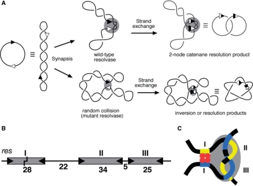 Synapsis and recombination by Tn3 resolvase. (A) Cartoon illustrating synapsis and strand exchange of a supercoiled substrate by wild-type and activated resolvase mutants. The two sites (res or site I) are indicated by arrowheads. Synapsis of two res sites in head-to-tail orientation by wild-type resolvase traps three topological nodes (shaded oval), and strand exchange results in a 2-noded catenane resolution product. Activated mutant resolvases can synapse sites by random collision, giving rise to products of variable topologies; in the example shown, a 5-noded knot inversion product. (B) The Tn3 recombination site res. The boxes represent binding sites for dimers of resolvase, with binding motifs represented by the wedges at the ends of each box. The lengths of the DNA segments are indicated (base pairs). The point within site I at which resolvase breaks and rejoins the DNA is marked by a staggered line. (C) Cartoon showing the path of the DNA in the res × res synapse, and the relationship of the catalytic and regulatory parts. The four resolvase subunits forming the tetramer in the site I synapse component of this complex are shown in red, and the grey shaded oval represents the eight subunits presumed to be bound to the accessory sites II and III.