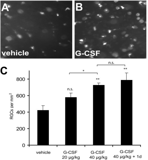 G-CSF protects RGCs after optic nerve transection. Subcutaneous daily injection of G-CSF (B, C) dose-dependently attenuated RGC apoptosis after optic nerve transection when compared to vehicle injection (A, C). 14 days after optic nerve transection reduction in RGC loss was statistically significant at a dose of 40 μg/kg bodyweight s.c. when the first injection was performed approximately 2 h after the optic nerve transection. Starting G-CSF injection one day before axotomy (40 μg/kg + 1 d) resulted in a slight, but non-significant increase in RGC numbers compared to treatment starting after the lesion. Panels (A) and (B) show an eccentricity at one half of the retinal radius. * p < 0.05 (20 vs. 40 μg/kg bodyweight); ** p < 0.01 (40 μg/kg or 40 μg/kg + 1 d vs. vehicle); n.s. = not significant. Data are given as mean ± S.E.M.