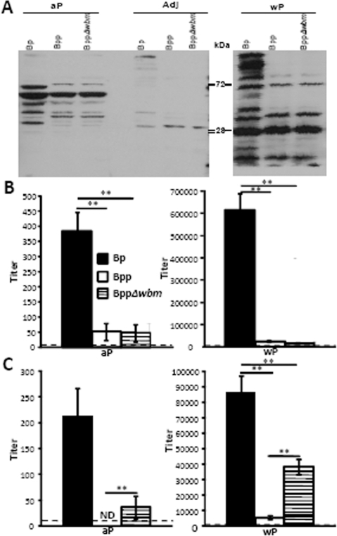 O-antigen inhibits the binding of B. pertussis vaccine-induced antibodies to live, but not denatured, B. parapertussis cells.(A) Western blots were performed on lysates of indicated bacteria probed with serum antibodies collected from mice that were vaccinated with aP, adjuvant only (Adj) or wP. (B) Heat-inactivated or (C) live B. pertussis (black), B. parapertussis (white) or O-antigen deficient B. parapertussis (hatched) were coated on ELISA plate. Serum antibody titer of mice vaccinated with aP or wP is expressed as mean of the end point titers of four independent samples ± the standard error. ** indicates P≤0.01. The dashed line indicates the limit of detection.