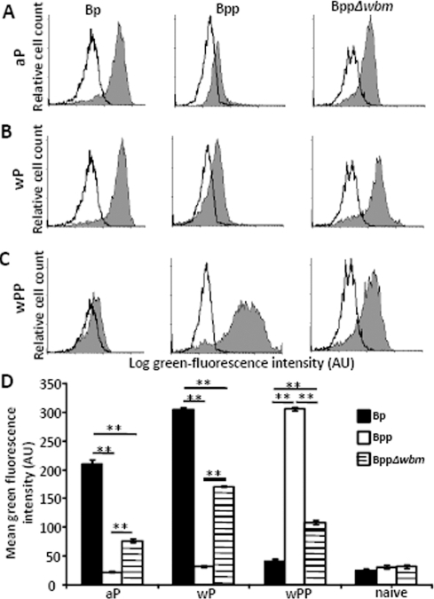 O-antigen blocks B. pertussis vaccine-induced antibodies from mediating adherence of B. parapertussis to PMNs.Naïve serum (white) or (A) aP, (B) wP, (C) wPP-induced serum (grey)-opsonized GFP-expressing bacteria were incubated with freshly isolated human peripheral blood PMNs. Representative histograms of flow cytometry analysis of these cells are shown. (D) Mean green fluorescence associated with PMNs incubated with GFP-expressing B. pertussis (black), B. parapertussis (white) or O-antigen deficient B. parapertussis (hatched) opsonized with four independent indicated serum ± the standard error is shown. AU indicates arbitrary units. ** indicates P≤0.01.