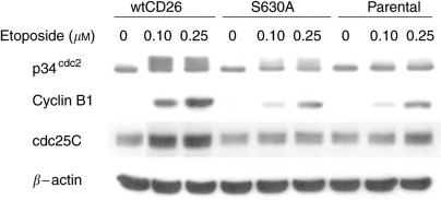 Effect of CD26/DPPIV expression on p34cdc2/cyclin B1 complex and cdc25C following etoposide treatment. Jurkat cells were incubated for 24 h at 37°C with media containing etoposide at the indicated doses. Cells were then harvested, and immunoblotting studies were performed with appropriate antibodies as described in Materials and Methods.