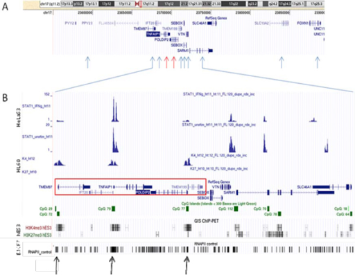 TNFAIP1/POLDIP2 complex sense antisense architecture mapped onto the genome (UCSC genomic browser). A - TNFAIP1/POLDIP SAGP (red arrows) and TMEM97/IFT20 SAGP (two next closest blue arrows on the left) with seven other genes included in the analysis (blue arrows). B - TNFAIP1/POLDIP2 complex cis-sense antisense architecture (red box) with different tracks. Small green solid boxes represent CpG islands, and green transparent boxes represent regions of enrichment of potential miRNA regulatory target sites. ChIP-Seq tracks represent regions of DNA binding by STAT1 (human cervical cancer HeLaS3 cell line [42]), ChIP-PET-defined histone trimethylations H3K4me3 and H3K27me3 (promyelocytic leukemia cell line HL60 [40]) and ChIP-seq-defined RNA polymerase II binding (breast cancer cell line MCF7 [44]). Black arrows at the bottom indicate the direct evidence of transcription activation of the TNFAIP1/POLDIP2 CSAGA in the breast cancer cell line. The GIS ChiP-PET track shows H3K4me3 and H3K27me3 regions mapped on the human genome (embryonic stem cell line hES3 [41]).