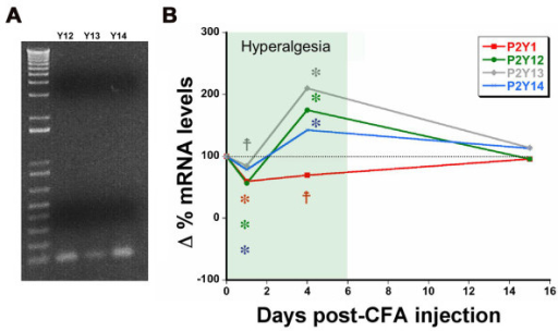 P2YGi receptor mRNA levels are regulated in response to inflammatory injury. A) Amplification of DRG cDNA by conventional RT-PCR using the P2YGi real-time PCR primers produced a single band for each receptor of the expected size (100-150 bp). B) Real-time PCR was used to analyze mRNA levels for each of the Gi-coupled P2Y receptors and the Gq-coupled P2Y1 at 1, 4 and 15 days after induction of inflammatory hyperalgesia by injection of complete Freund's adjuvant into the hindpaw. The shaded box indicates the period of significant heat hyperalgesia determined using the Hargreaves test. Data are normalized against baseline values. *p < 0.01, ‡p < 0.05, For PCR, n = 5 mice/time point. For behavior, n = 10 mice/time point.