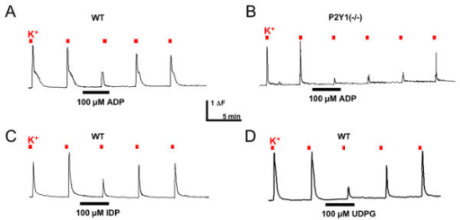 P2YGi agonists inhibit depolarization-evoked increases in intracellular Ca++. Fura-2 Ca++ imaging was used to measure the effect of P2Y receptor agonists on Ca++ transients evoked by administration of 50 mM K+. Application of ADP (100 μM) for 3 minutes reduced subsequent depolarization-evoked transients in wildtype (A) and P2Y1-/- (B) mice. The P2Y13 agonist IDP (C) and the P2Y14 agonist UDPG (D) also inhibited depolarization-evoked transients.