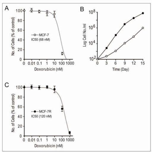 Effect of different concentration of doxorubicin treatments on the survival of MCF-7 breast cancer cell lines. A and C: Viability of MCF-7 cells in the presence of a series of concentrations of doxorubicin (0.01-1000 nM) for two weeks, the percent viability was measured following the standard protocols (non-radioactive cell proliferation assay kit, Promega). B: Control MCF-7 cells; black circlet (●), doxorubicin-treated cells; white circlet (○). Time dependence effect response of doxorubicin (10 nM) on cellular growth rate of MCF-7 cells was assayed by comparing the each value with control. For the counting of colony number, cells were stained with 1% methylene blue for 20 m and washed with water. Each data point is the average of at least three independent experiments performed.