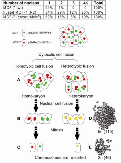 Schema of cell fusion and chromosomal instability. A: Cytosolic cell fusion of two subtype of cells (homotype or heterotype). B and D: Most of cells, at the stage of nuclear cell fusion, revealed no further propagation and subsequently vanished. C: Viable progeny cells propagated again in culture. Giemsa-stained chromosomes of MCF-7 cells were examined. D: Abnormal sets of chromosomes as a consequence of cell fusion and (E) the cells containing giant nuclei (polyploid) were died out and the diverse populations were analogously converged into doxorubicin resistant clones. Table insert, fusion was quantitated by counting the number of cells (%) and nuclei present in a microscope field.