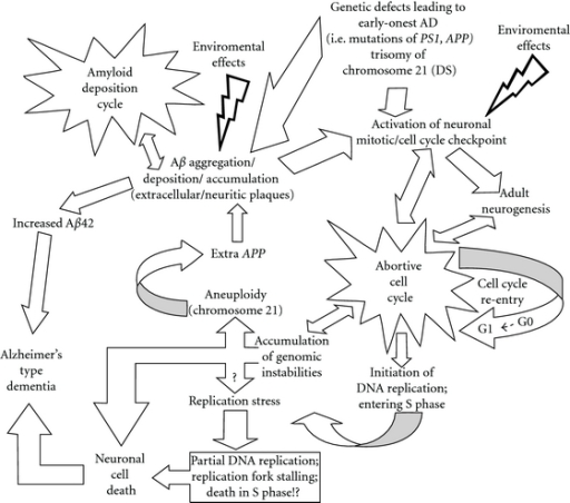 The DNA replication stress hypothesis of AD. Interplay