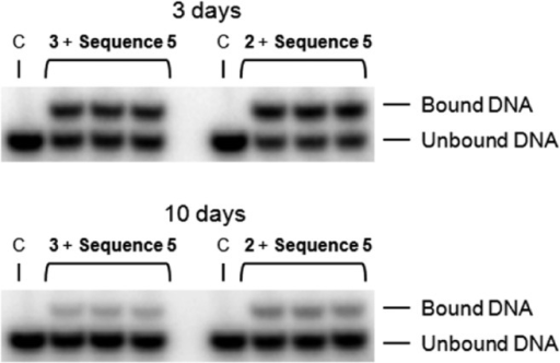 Examples of gel shift mobility assays of the dissociation of 2 and 3 from DNA sequence 5 at 3and 10 days. Each dissociation experiment was performed in triplicate.