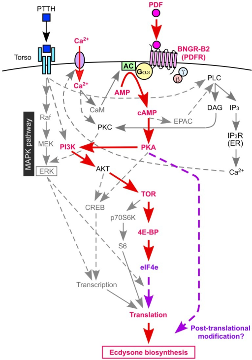 Integration of the PDF signaling model with the known PTTH signaling pathway.Solid lines indicate demonstrated or highly likely pathways, and dashed lines indicate hypothetical pathways. Gαs: G protein αs subunit, AC: adenylate cyclase, AMP: adenosine monophosphate, cAMP: cyclic AMP, EPAC: exchange protein directly activated by cAMP, eIF4e: eukaryotic translation initiation factor 4E, 4E-BP: eIF4E binding protein, TOR: target of rapamycin, PKA: protein kinase A, PKC: protein kinase C, PI3K: phosphatidylinositol 3-kinase, AKT: protein kinase B, CREB: cAMP response element-binding protein, MAPK: mitogen-activated protein kinase, ERK: extracellular signal-regulated kinase, MEK: MAP kinase kinase, Raf: MAP kinase kinase kinase, S6: ribosomal protein S6, p70S6K: 70 kDa S6 kinase, PLC: phospholipase C, DAG: diacylglycerol, IP3: inositol 1,4,5-trisphosphate, IP3R: IP3 receptor, CaM: calmodulin.