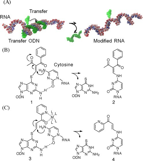 (A) Conceptual illustration of the inter-strand functionality transfer from the ODN probe to the RNA substrate within the hybridized complex. (B) The 4-NH2 group of cytidine in RNA participates in a Michael addition to the vinyl group of the 2-vinylidene-1,3-diketo moiety, and the following elimination of 6-thio-dG accomplishes an S to N functionality transfer. (C) Design of the pyridinyl vinyl keto group as a new transfer group in anticipation of activation through the formation of a metal chelation complex.