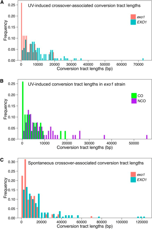 Conversion tract lengths in wild-type and exo1 strains. Based on the location of LOH regions, we measured conversion tract length in exo1 strains, both spontaneous events and events induced by UV. These data were compared with measurements performed in wild-type strains (St. Charles and Petes 2013; Yin and Petes 2013). (A) Comparison of UV-induced crossover-associated gene conversion tracts in wild-type and exo1 strains. A total of 107 and 27 conversion tracts were examined in the wild-type and exo1 strains, respectively. (B) Comparison of UV-induced conversion tracts in the exo1 strain. Twenty-seven of the conversion tracts were crossover associated and 54 were unassociated with crossovers. (C) Comparison of spontaneous crossover-associated conversion tracts in wild-type and exo1 strains. One hundred two conversion tracts were analyzed in the exo1 strain and 139 were examined in the wild-type strain.