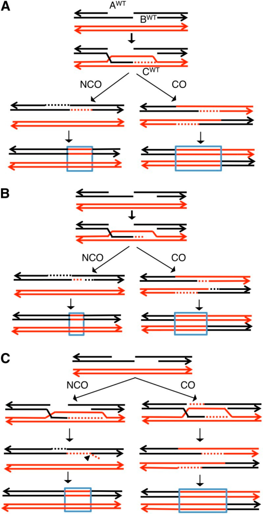 Patterns of crossover-associated and crossover-unassociated conversion tracts based on current models of recombination. Black and red lines show DNA strands of the two homologs with arrows marking the 3′ ends. Dotted lines show repair-associated DNA synthesis. For all of the models, we assume that conversion events unassociated with crossovers (NCO) occur as a consequence of SDSA, and events associated with crossovers (CO) reflect resolution of Holliday junctions. We assume that the two broken ends are resected to the same extent (AWT = BWT), although our conclusions do not require this assumption (details in text). CWT shows the length of DNA synthesized by the invading strand. In heteroduplexes with one black strand and one red strand, we show correction of the mismatches to generate two red strands. The resulting conversion tracts are outlined in blue. (A) The length of DNA synthesized by the invading strand (CWT) equals the amount of resection, and AWT = BWT. The expected conversion tract length for events associated with crossovers is about twice that for events unassociated with crossovers. (B) If CWT < AWT and BWT, then the relative length of the crossover-associated tract compared to the crossover-unassociated tract is greater than in A. (C) If CWT > AWT and BWT, one possibility is that, during the SDSA event, the 3′ end of the reinvading strand is displaced. Removal of this end by a branch-processing enzyme such as Rad1p/Rad10p (Mazón et al. 2012) would result in a conversion tract in the NCO pathway that is the same length as in A.