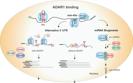 Schematic models of ADAR1 function in the nucleus on 3' UTR processing and miRNA biogenesisThese regulatory mechanisms are mainly executed by ADAR1 binding to non-Alu regions. ADAR1 may compete with other cleavage and polyadenylation factors (CF Im68, CstF64 and CstF64τ) in binding to 3' UTRs. In the presence of ADAR1, the three proteins impose reduced regulatory influence on ADAR1-bound 3' UTRs than on other 3' UTRs. Upon ADAR1 KD, these proteins could gain more access to the 3' UTRs and exert regulation. The proximal cleavage site is often chosen in the presence of ADAR1, whereas the distal site is used upon ADAR1 KD. These outcomes reflect combinatorial regulation by the cleavage and polyadenylation factors that have opposing impacts on alternative 3' UTR usage. For pri-miRNA processing, ADAR1 may bind to (and edit) the nascent primary transcript prior to DROSHA/DGCR8 binding. The Microprocessor then cleaves the pri-miRNA with or without binding to the RNA. The binding of ADAR1 mainly promotes the processing of pri-miRNA, leading to enhanced miRNA expression level.