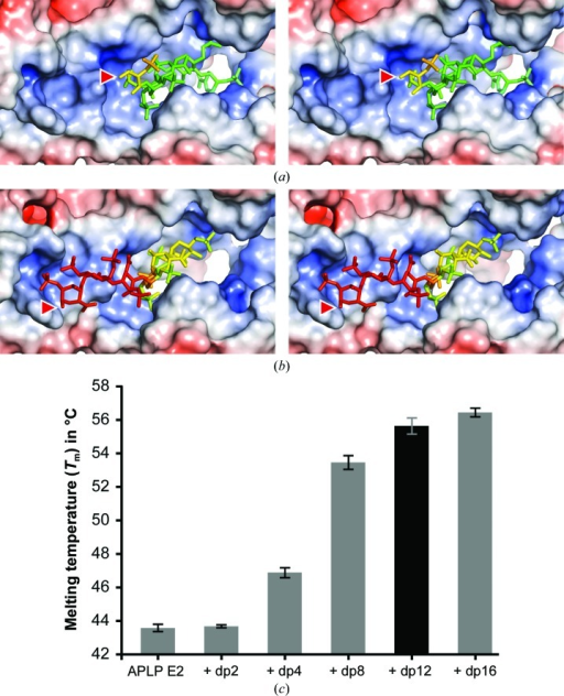 Electrostatic interactions of heparin and APLP1 E2. The stereoviews show APLP1 E2 chains a and b in the same orientation. The molecular surface is coloured according to the calculated electrostatic potential, which ranges from red (−10 kT/e−) to blue (+10 kT/e−). Heparin chains are shown as stick models coloured in a gradient according to the crystallographic B factor, which ranges from green (74 Å2) to red (179 Å2). Red arrowheads mark the reducing ends of heparin. (a) Electrostatic interactions of heparin chain a with APLP1 E2. (b) Electrostatic interactions of heparin chain b with APLP1 E2. (c) Structural stabilization of heparan sulfate by APLP1 E2. The dependence of the increase of the melting temperature of APLP1 E2 on the heparin chain length was measured by thermal denaturation assays (Thermofluor assays). The melting temperatures given correspond to the inflection points of the melting curves of APLP1 E2 without heparin and in the presence of saccharides with defined lengths of two (dp2), four (dp4), eight (dp8), 12 (dp12) and 16 (dp16) sugar rings. dp12, which was used for crystallization, is highlighted as a black bar.