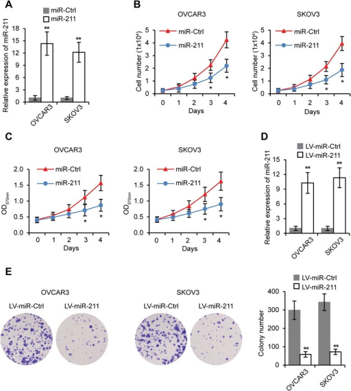 miR-211 inhibits EOC cell proliferation. A. miR-211 levels in OVCAR3 and SKOV3 cells transfected with miR-211 or miR-Ctrl. B. OVCAR3 and SKOV3 cells were transfected with miR-211 or miR-Ctrl for 48 hours, then seeded in 24-well plates (0.25 × 104 cells/well). Viable cell numbers were counted at indicated time points. C. MTT assay of OVCAR3 and SKOV3 cells transfected with miR-211 or miR-Ctrl. D. Expression of miR-211 in LV-miR-211 or LV-miR-Ctrl transfected OVCAR3 and SKOV3 cells. E. Colony formation assay in OVCAR3 and SKOV3 cells stably expressing miR-211 compared to control cells. *p < 0.05, **p < 0.01 compared to miR-Ctrl or LV-miR-Ctrl transfected cells. Data are presented as mean ± SEM of three independent experiments.