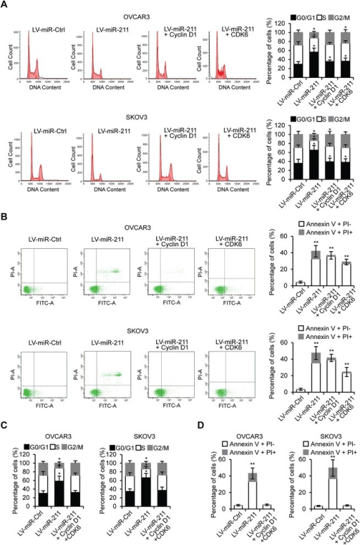 miR-211 regulates EOC cell cycle and cell apoptosis via repression of Cyclin D1 and CDK6. A. Cell cycle assay of OVCAR3 and SKOV3 cells tranfected with LV-miR-Ctrl, LV-miR-211, LV-miR-211 + Cyclin D1 or LV-miR-211 + CDK6 plasmids. B. Apoptosis analysis of OVCAR3 and SKOV3 cells transfected with LV-miR-Ctrl, LV-miR-211, LV-miR-211 + Cyclin D1 or LV-miR-211 + CDK6 plasmids. C. Cell cycle assay of OVCAR3 and SKOV3 cells tranfected with LV-miR-Ctrl, LV-miR-211 or LV-miR-211 + Cyclin D1 + CDK6 plasmids. D. Apoptosis analysis of OVCAR3 and SKOV3 cells transfected with LV-miR-Ctrl, LV-miR-211 or LV-miR-211 + Cyclin D1 + CDK6 plasmids. *p < 0.05, **p < 0.01 compared to LV-miR-Ctrl transfected cells. Data are presented as mean ± SEM of three independent experiments.