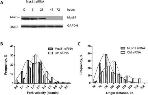 Acute Mus81 depletion triggers slower DNA synthesis and elevated initiation frequencyHCT116 cells were transfected withsiRNA directed against Mus81 or with control siRNA. (A) Western-blot analysis showed that HCT116 cells transfected with siRNA against Mus81 exhibited a dramatic knockdown of Mus81 protein, compared to cells transfected with control siRNA 48 and 72 hours after transfection. Cells transfected with Mus81 siRNA or control siRNA for 48 hours were used for single fiber replication analyses: rates of replication fork progression (B) and inter-origin distances (C) in siRNA-treated cells. In comparisons between control- and Mus81-siRNA treated cells, the Mann Whitney test revealed significant differences in both replication fork velocity and inter-origin distance (Supplementary Table 2).