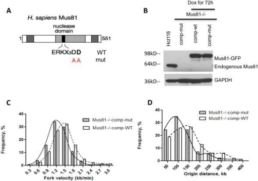 Mus81 endonuclease activity is required to maintain replication rates(A) Site-directed mutagenesis was used to replace two aspartic-acid residues within the conserved Mus81 nuclease domain (338 and 339) with alanine residues. (B–E) Wild type and mutant versions of Mus81 tagged with tGFP in a doxycyclin-inducible vector were introduced into HCT116 Mus81−/− cells and stable cell lines were established. (B) Western-blot analysis showed reproducible Mus81 expression in response to doxycycline for 72 hours in these stable cell lines. (C,D) Single fiber replication analyses were used to measure rates of replication fork progression (C) and inter-origin distances (D) in these cells after 72 hours of Mus81-tGFP induction by doxycycline. Cells complemented with the wild type Mus81 exhibited slower replication fork progression compared to the rates of DNA synthesis in the parental Mus81-proficient HCT116 cells shown in Figure 1, reflecting either experimental variation or incomplete complementation by Mus81. Cells expressing Mus81 with a mutant nuclease domain exhibited slower replication fork progression and more frequent initiation than cells expressing the wild-type Mus81. Statistical analyses are shown in Supplementary Table 3.