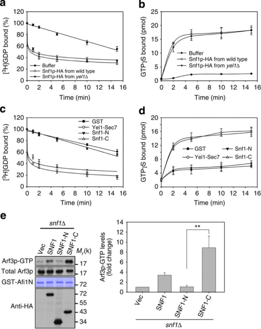 C-terminal regulatory domain of Snf1p activates Arf3p.(a–d) Activation of Arf3p by Snf1p. [3H]GDP dissociation from and [35S]GTPγS binding to Arf3-dN17 in the presence of Snf1p immunoprecipitated from wild-type and yel1Δ cells (a,b), or recombinant Yel1-Sec7, Snf1-N and Snf1-C (c,d), were monitored by measuring radioactivity. The data are reported as the means±s.d. of the percentages of dissociated [3H]GDP and of bound [35S]GTPγS (n=3). (e) Active forms of Arf3p were precipitated by GST-Afi1N in snf1Δ cells expressing SNF1, SNF1-N or SNF1-C. Right panel, quantitative analysis of active Arf3p. Data are reported as the mean±s.d. of three experiments relative to vector (Vec) control. **P<0.01; Student's t-test.
